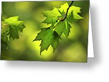 Sunlit Maple Leaves In Spring Greeting Card