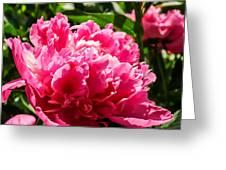 Sunlit Pink Peony Greeting Card