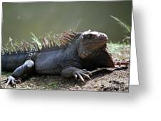 Sunning Gray Iguana Sitting Beside Water Greeting Card