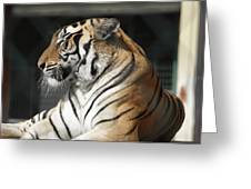 Sunning Tiger Greeting Card