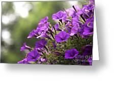Sunny Petunias 2 Greeting Card