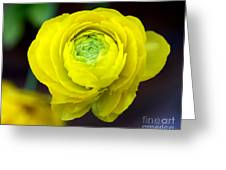 Sunny Ranunculus Greeting Card