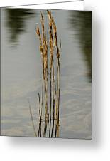 Sunny Reeds Reflect Greeting Card