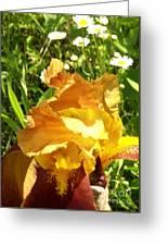 Sunny Wine Iris With Daisies Greeting Card