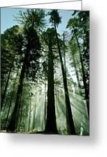 Sunrise Beams N Sequoia Greeting Card