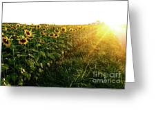 Sunset And Rows Of Sunflowers Greeting Card