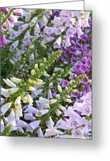 Sunshine On Foxgloves Greeting Card