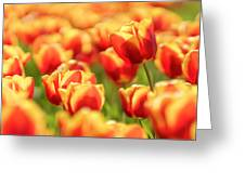 Sunsoaked Tulips #7 Greeting Card