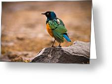 Superb Starling Greeting Card by Adam Romanowicz