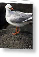 Suprised Australian Seagull Greeting Card