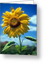 Sussex County Sunflower Greeting Card