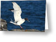 Swallow Tailed Gull Landing Greeting Card