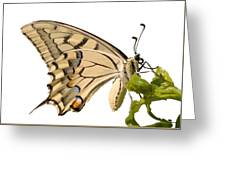 Swallowtail Butterfly Vector Isolated Greeting Card