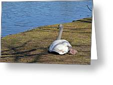 Swan 577 Greeting Card