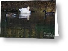Swan And Geese Greeting Card