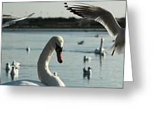 Swan And Gulls  Greeting Card