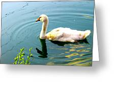 Swan Cygnet By Earl's Photography Greeting Card
