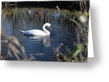 Swan In Blue Pond Greeting Card