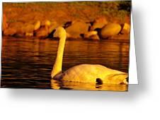 Swan Near Sundown Greeting Card
