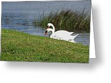 Swan Pair As Photographed Greeting Card