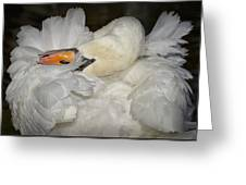 Swan Preening Greeting Card