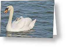 Mute Swan With Babies On Its Back Greeting Card