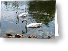 Swans And Ducks Greeting Card