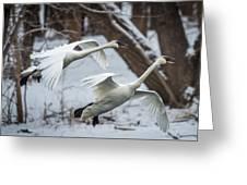 Swans Landing Greeting Card