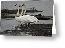 Swans Line Dancing Greeting Card