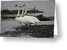 Swans Line Dancing Greeting Card