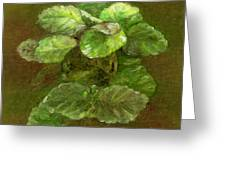 Swedish Ivy Greeting Card