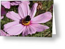 Sweet Bee On Pink Cosmos - Digital Art Greeting Card