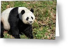 Sweet Chinese Panda Bear Sitting Down In Grass Greeting Card
