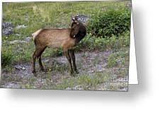 Sweet Elk Calf Greeting Card