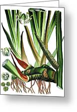 Sweet Flag Or Calamus, Acorus Calamus Greeting Card