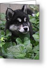 Sweet Markings On The Face Of An Alusky Puppy Dog Greeting Card