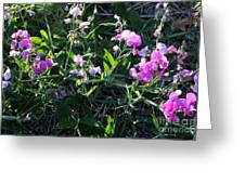 Sweet Pea In Tahoe Greeting Card