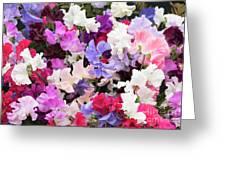 Sweet Pea Spencer Flowers Greeting Card