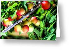 Sweet Ripe  Plum On A Branch Greeting Card