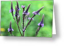 Sweet Vervain Greeting Card