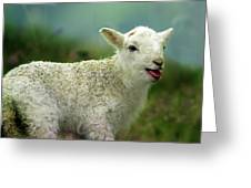 Swet Little Lamb Greeting Card