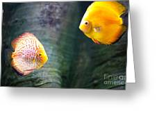 Symphysodon Discus Fishes Greeting Card