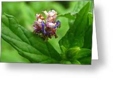 Synchlora Aerata Caterpillar Greeting Card