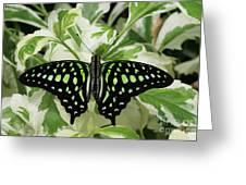 Tailed Jay Butterfly #2 Greeting Card