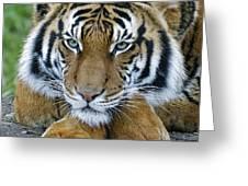 Takin A Break Tiger Greeting Card