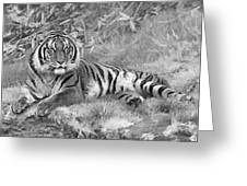 Takin It Easy Tiger Black And White Greeting Card