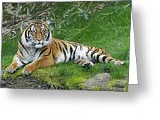 Takin It Easy Tiger Greeting Card