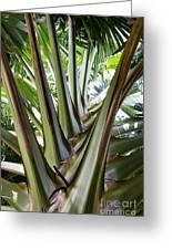 Talipot Palm Greeting Card