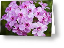 Tall Garden Phlox Greeting Card