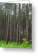 Tall Pines After The Rain Greeting Card